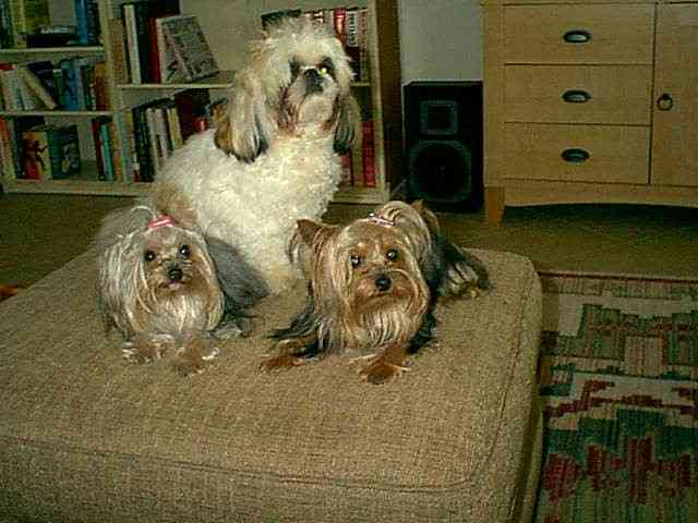 Moji is the Shih Tzu, the girls are toy Yorkies